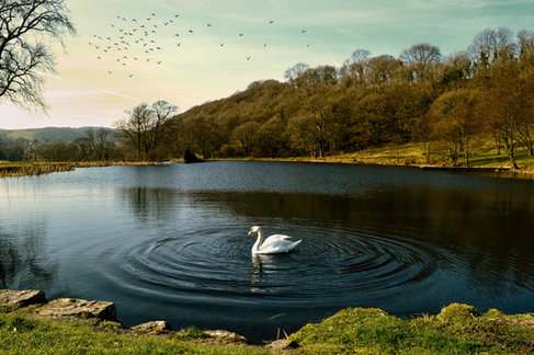 final swan with watermark.jpg