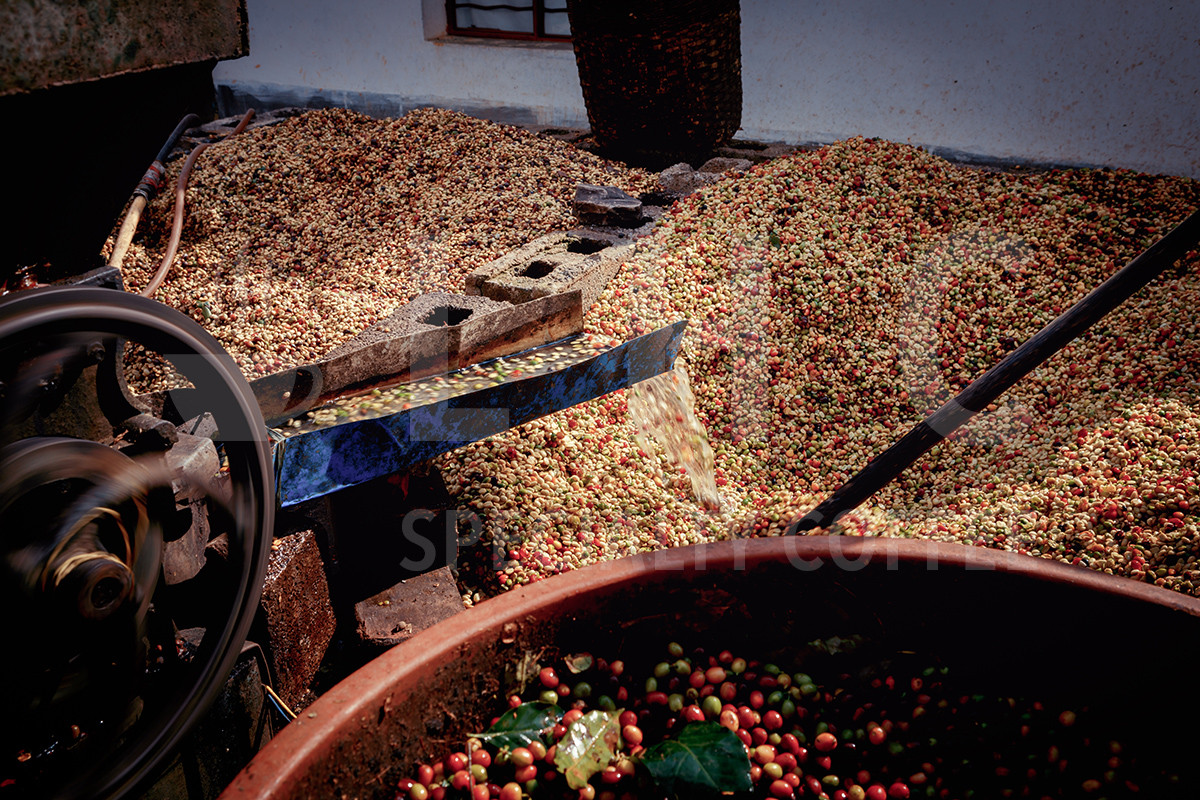 Washing Coffee Cherries