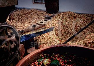 Washing Coffee Cherries