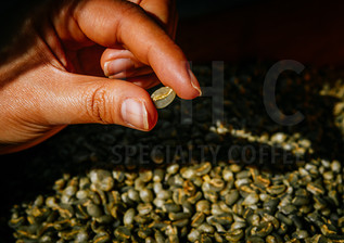 Hand Pick Coffee Beans