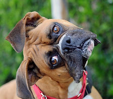 Confused Boxer Dog