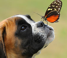 Boxer and Butterfly