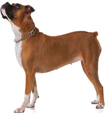 Boxer Looking Up
