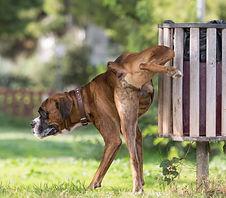 Busting Boxer