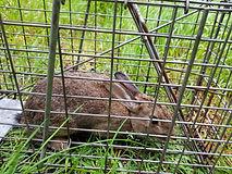 Wild rabbit caught in humane trap..jpg