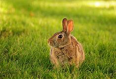 Cottontail rabbit sitting on green grass
