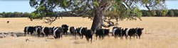 Glenthompson-banner-cattle-1024x279.jpg