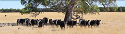 Glenthompson-banner-cattle-1024x279.jpg