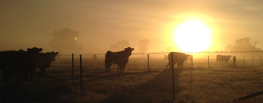 Sunrise with the Belted Galloways