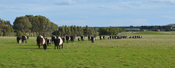 Belted Galloways on the move.