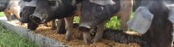 Glenthompson-banner-pigs-1024x279.jpg