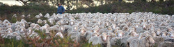 Glenthompson-banner-sheep-2-1024x279.jpg