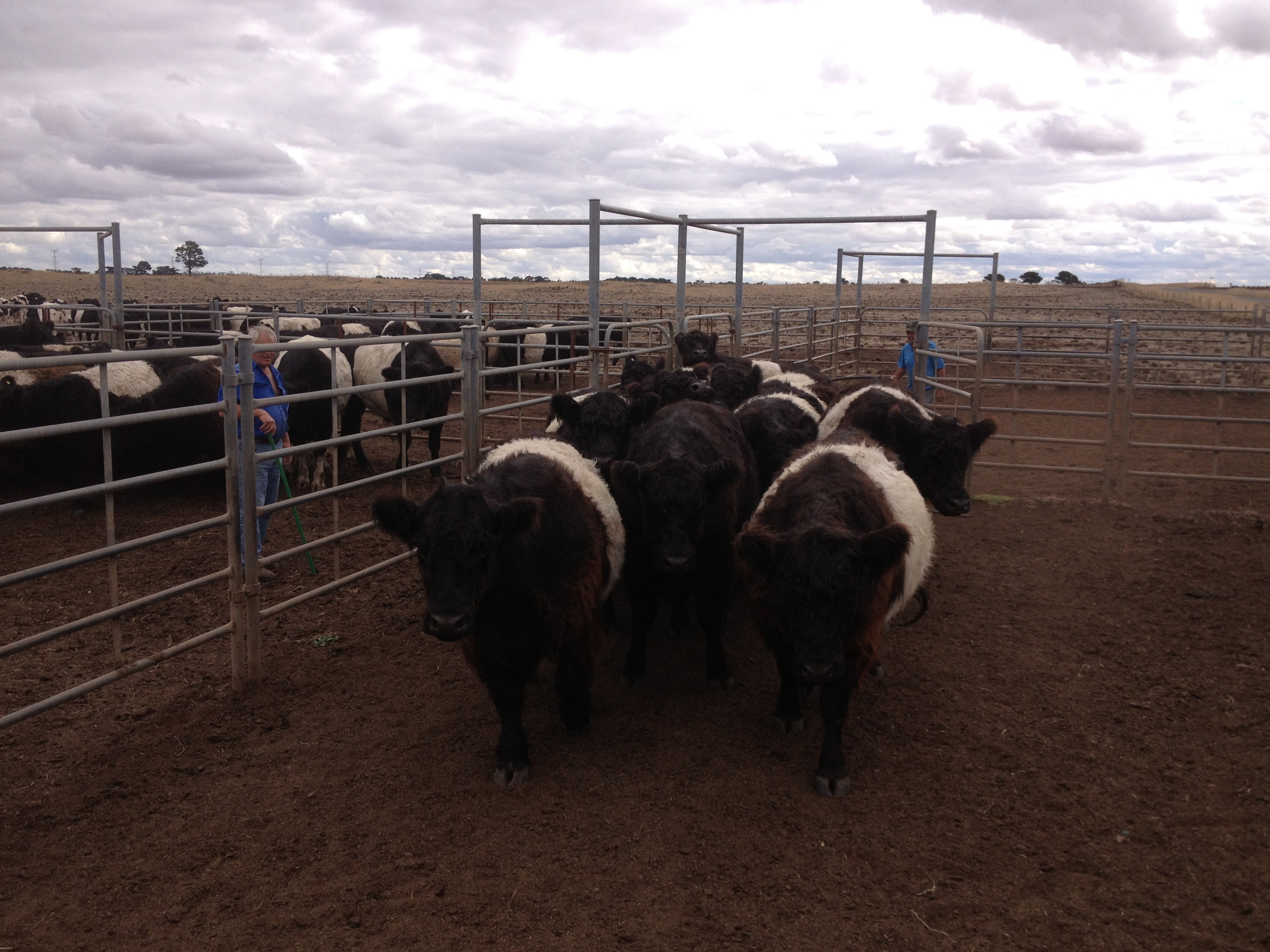 Belted Galloways in the Larra yards