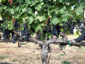 Sonoma County wineries grapple with keeping workers safe as annual harvest nears