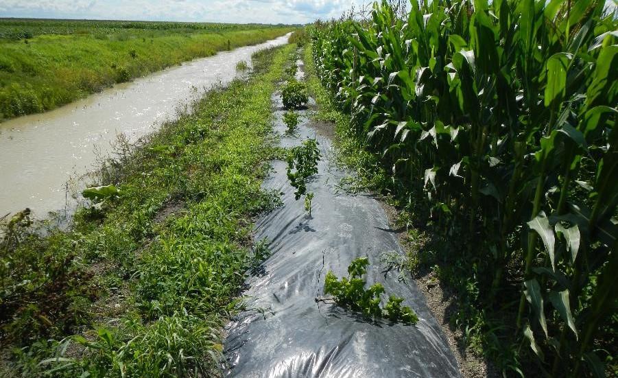 Bande riveraine située à Maskinongé. Elle est composée d'aronie à fruits noirs, de physocarpe à feuilles d'obier, de sureau du Canada et de viorne trilobée.