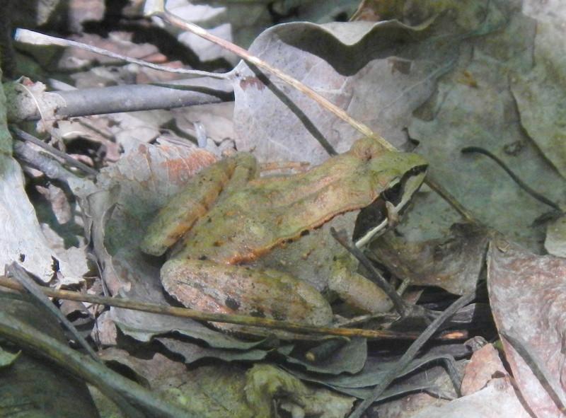 Grenouille des bois