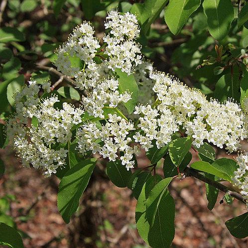 Viorne cassinoïde (Viburnum cassinoides)