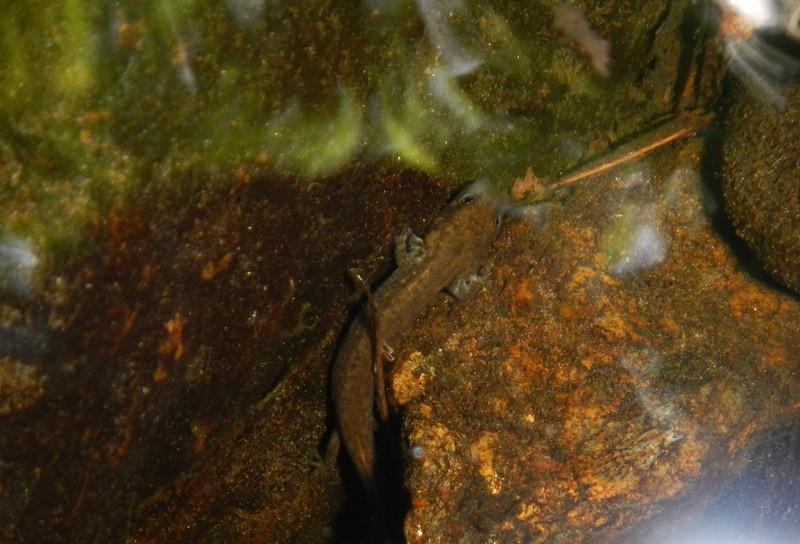 Larve de salamandre à deux lignes