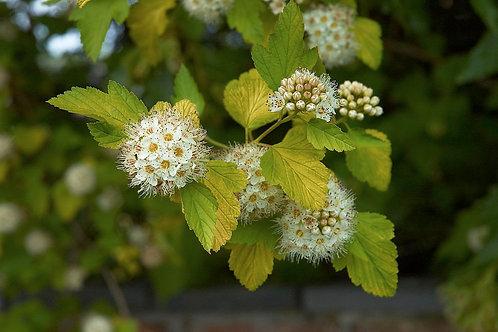 Physocarpe à feuilles d'obier (Physocarpus opulifolius)