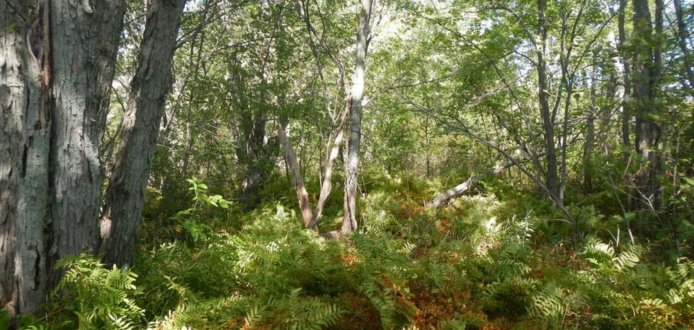 Marécage arborescent