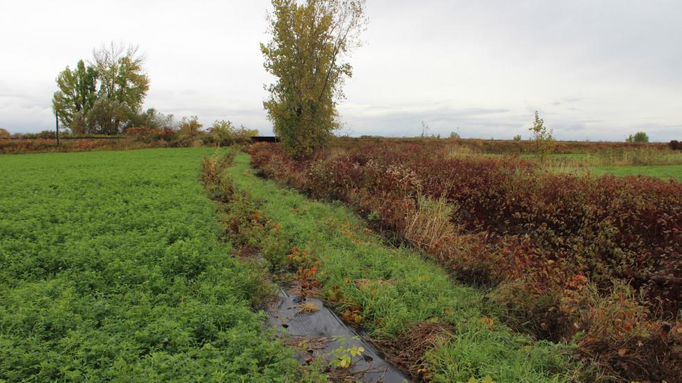 Bande riveraine située à Maskinongé. Elle est composée de cornouiller stolonifère, de physocarpe à feuille d'obier et de sureau du Canada.