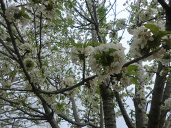 Cherry Blossoms 2015
