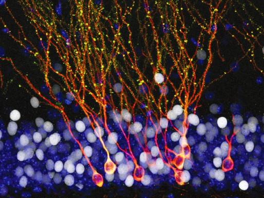 NEUROGÉNESIS.                      Neuronas nuevas para vitalizar el cerebro adulto.