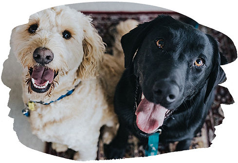 Lab And Labradoodle Trained By alpha Dog Training