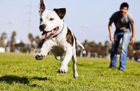 Alpha Dog Tring A Pit Bull
