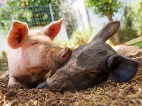 We need the three little pigs! The story of the first group rescue of animals.