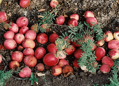 apples.webp