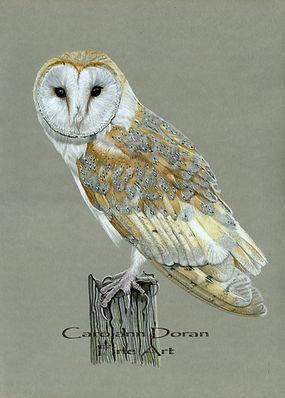Barn Owl WM.jpg