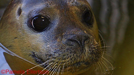 Lemon Grass, a Harbor Seal Treated at NMLC in Bourne, MA#massaudubon#seals#marinelife#threatenedspec