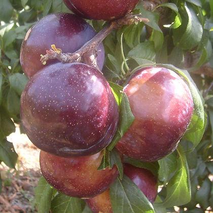 friar-plum.jpg