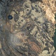 Lovely 1.4 Ga stromatolites in Belt Supergroup, Kootenai Falls