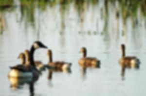 keech-pond-geese-edit.jpg