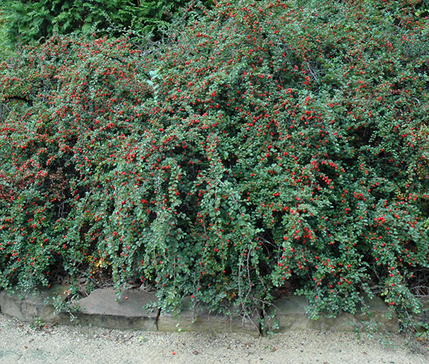 Lucidious Cotoneaster