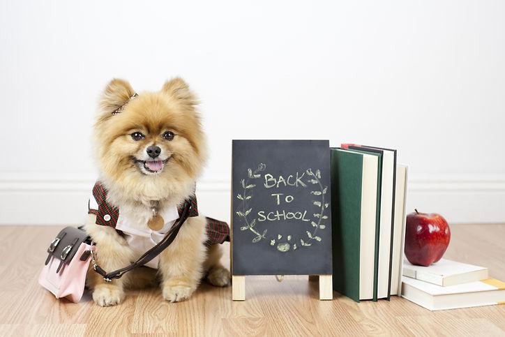 Pomeranian student sitting next to books