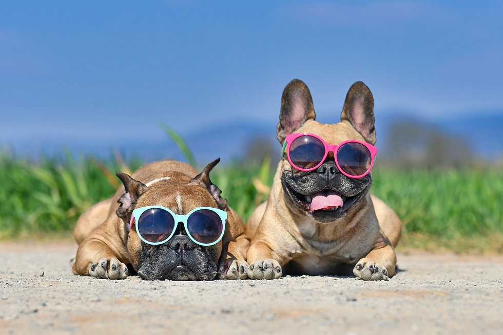 Adorable cute happy French Bulldog dogs wearing sunglasses in summer in front of meadow an