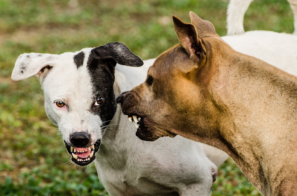 Thai dogs scare each other in an aggress