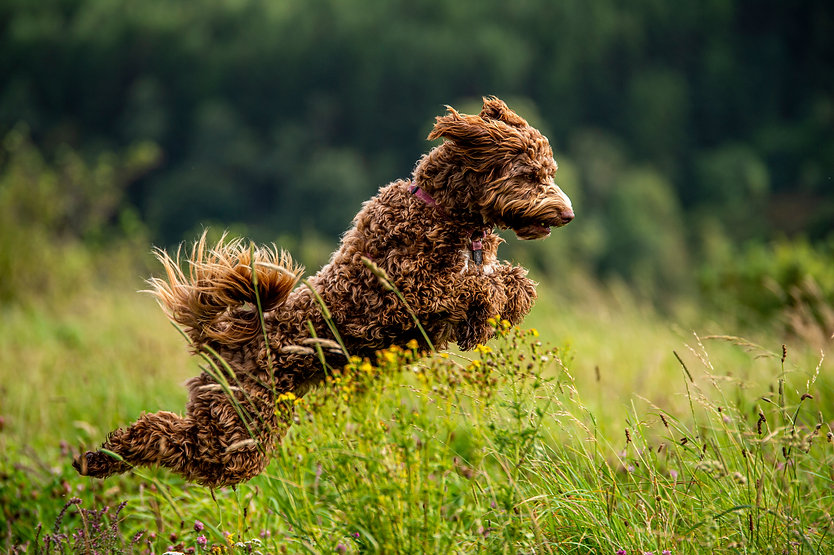 Labradoodle puppy enjoying running in gr