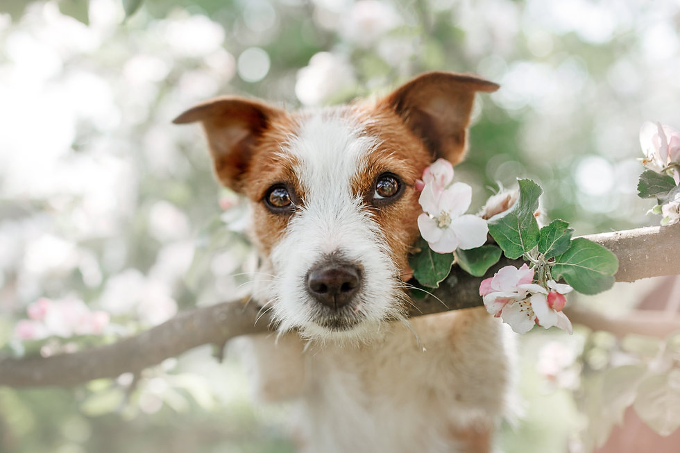 Dog Jack Russell Terrier sitting on a tr