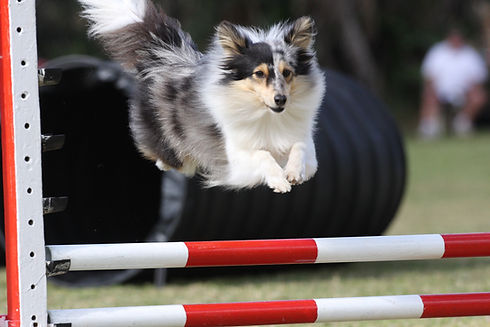 Shetland sheepdog doing agility.jpg
