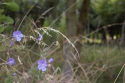 Geraniums in Beech Wood
