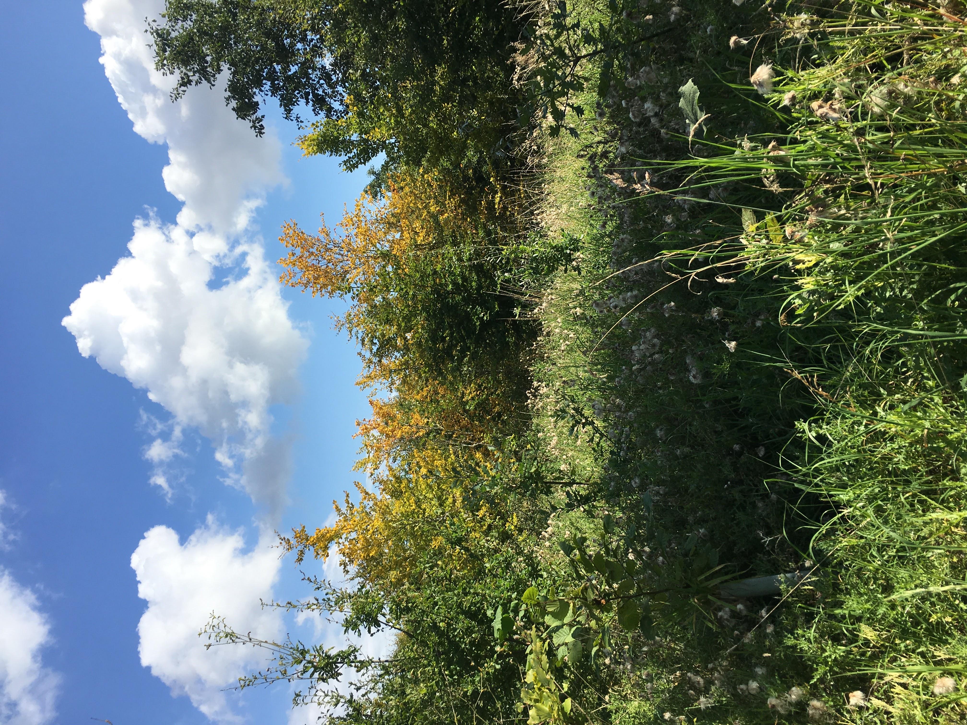 Beech Wood  2017