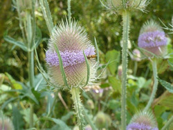 The teasels are in flower