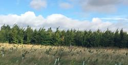Established Beech Wood