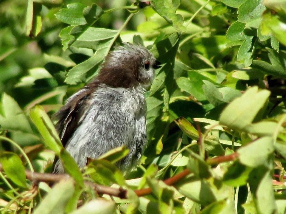 Juvenile long tailed