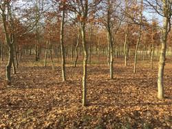 New look 'see through' Beech Wood