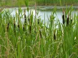 Bull rushes around the pond